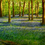 "blue bells 17"" x 24"" Sold"